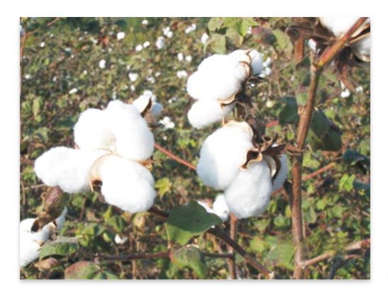Agrica cotton